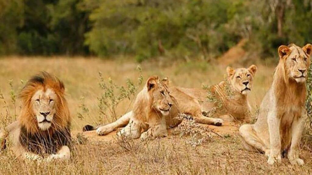 Los leones se habrían escapado de una rancho en el municipio de Zumpango.