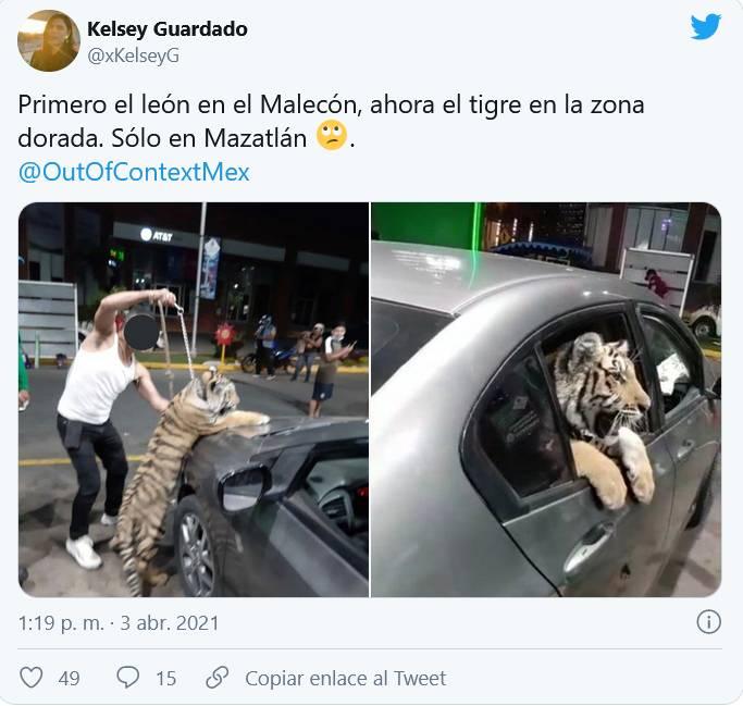 Video: un tigre pasea en auto por calles de Mazatlán_01
