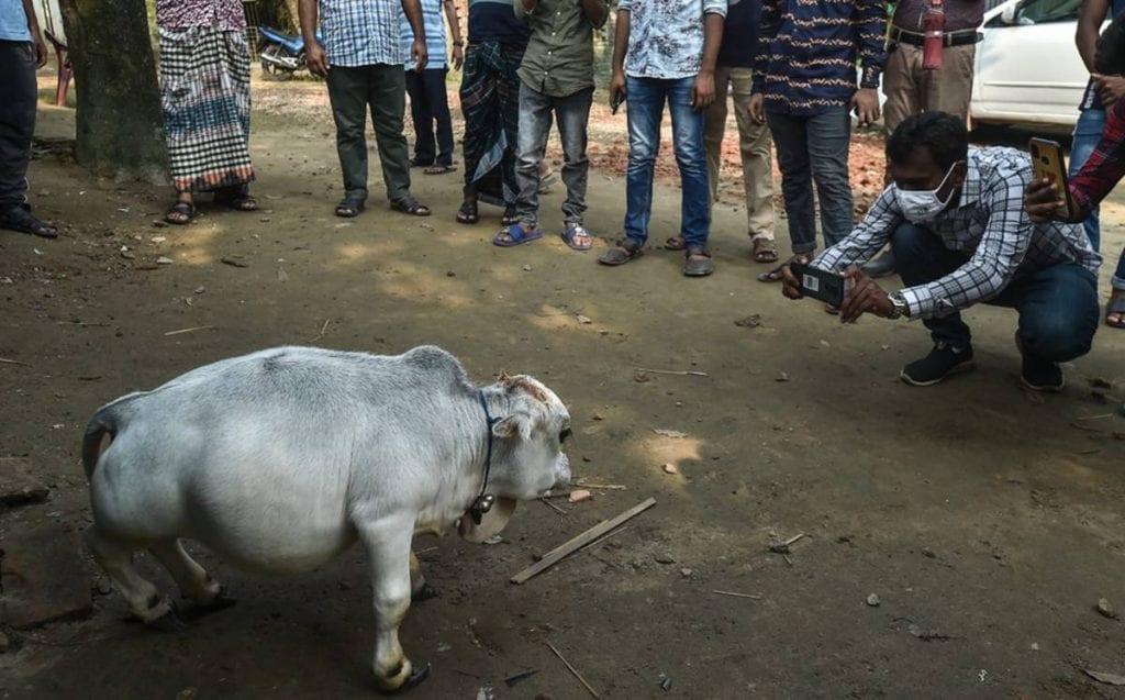 La llegada de una vaca a este mundo causó revuelo, esto debido a que es considerada la más pequeña del mundo. Rani, nombre del bovino, mide 51 centímetros de altura, con lo que desbancaría a la vaca que tiene el Récord Guinnes